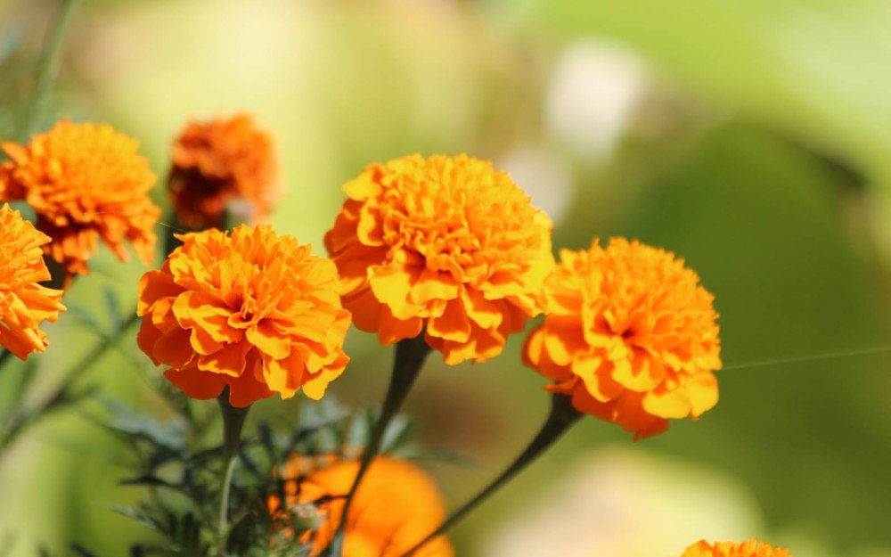 marigold-flower-wallpaeper