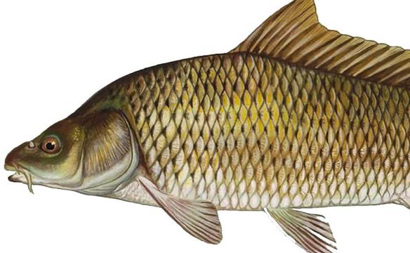 pas_carp-fish_300